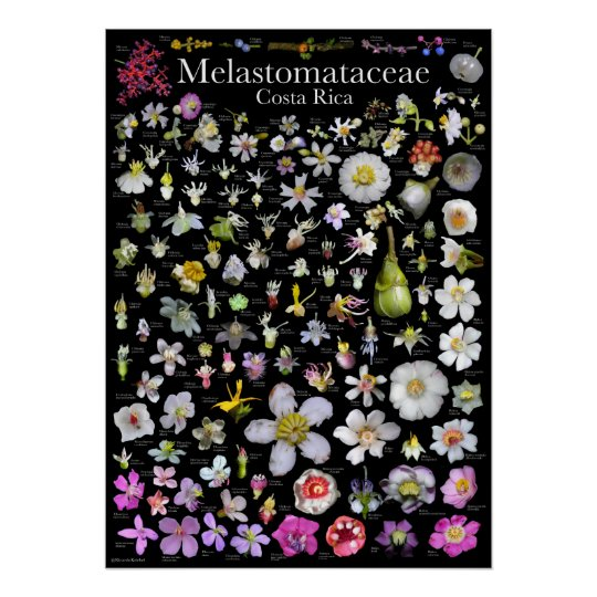 Melastomataceae of Costa Rica Poster