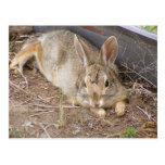 Mellow Bunny Post Cards