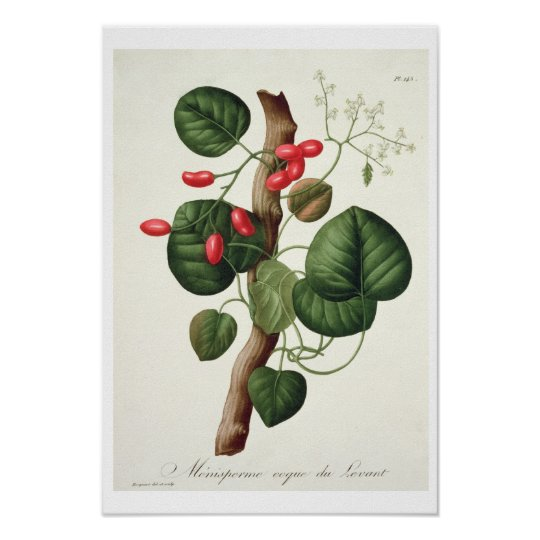 Menispermum from 'Phytographie Medicale' by Joseph Poster