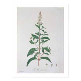 Mentha Piperita from 'Phytographie Medicale' by Jo Postcard