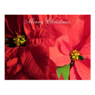 Merry Christmas Poinsettia Flower Postcard
