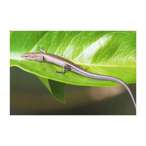 Metallic Cool Skink Niveoscincus Metallicus Stretched Canvas Prints