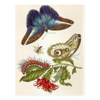 Metamorphosis insectorum Surinamensium Postcard