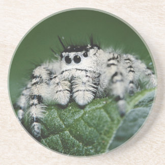 Metaphid Jumping Spider Coaster