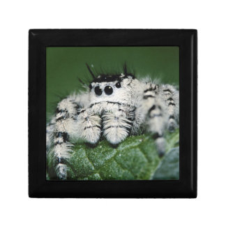 Metaphid Jumping Spider Gift Box