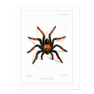 Mexican red leg tarantula postcard