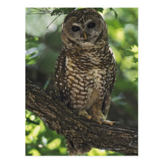 Mexican Spotted Owl On Perch In Gambel Oak Postcard