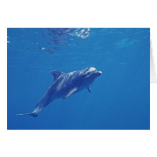 Mexico, Cozumel. Bottlenosed Dolphin Card