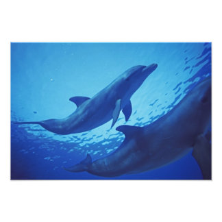 Mexico, Cozumel. Bottlenosed Dolphin, Tursiops 2 Photo Print