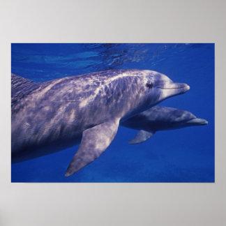 Mexico, Cozumel. Bottlenosed Dolphin, Tursiops 2 Poster