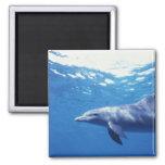 Mexico, Cozumel. Bottlenosed Dolphin, Tursiops 3 Refrigerator Magnet