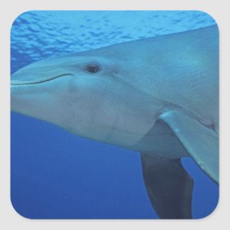 Mexico, Cozumel. Bottlenosed Dolphin, Tursiops 4 Square Stickers