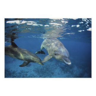 Mexico, Cozumel. Bottlenosed Dolphin, Tursiops 5 Poster