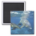 Mexico, Cozumel. Bottlenosed Dolphin, Tursiops 5 Square Magnet