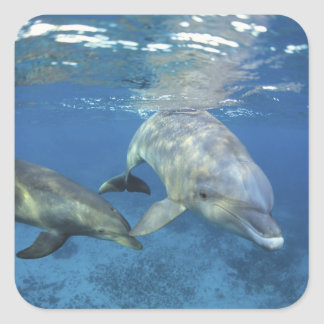 Mexico, Cozumel. Bottlenosed Dolphin, Tursiops 5 Square Sticker