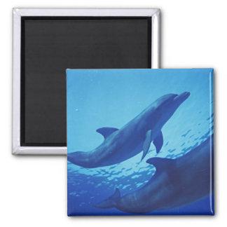 Mexico, Cozumel. Bottlenosed Dolphin, Tursiops Magnet
