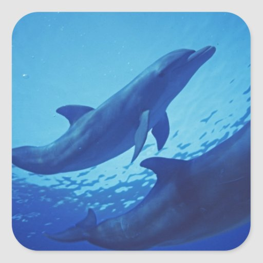 Mexico, Cozumel. Bottlenosed Dolphin, Tursiops Square Stickers
