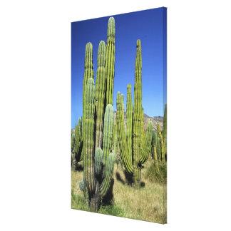 Mexico, Sonora, San Carlos. Saguaro & Organ Pipe Canvas Print