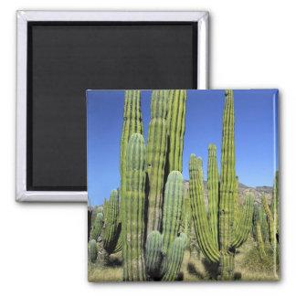Mexico, Sonora, San Carlos. Saguaro & Organ Pipe Fridge Magnet