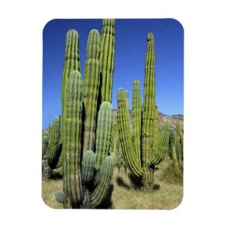 Mexico, Sonora, San Carlos. Saguaro & Organ Pipe Rectangular Photo Magnet