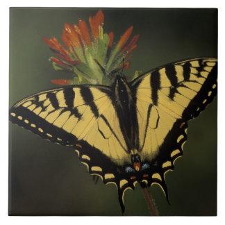 Michigan, Houghton Lake. Tiger Swallowtail on Tile