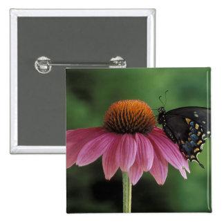 Michigan, Rochester. Spicebush Swallowtail on 15 Cm Square Badge