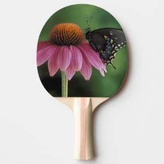 Michigan, Rochester. Spicebush Swallowtail on Ping Pong Paddle