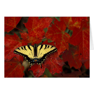 Michigan, Wetmore. Tiger Swallowtail on maple Card