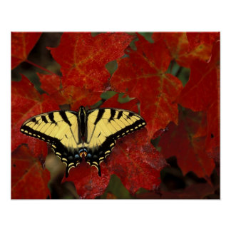 Michigan, Wetmore. Tiger Swallowtail on maple Poster