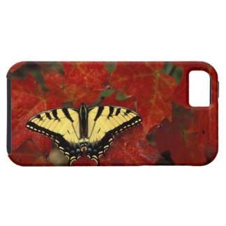 Michigan, Wetmore. Tiger Swallowtail on maple Tough iPhone 5 Case