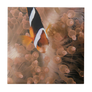 Micronesia, Palau, Anemonefish Tile