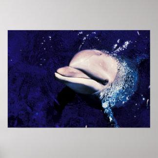 Micronesia, Palau Bottlenose dolphin Tursiops Poster