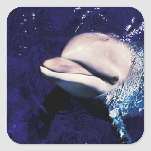 Micronesia, Palau Bottlenose dolphin Tursiops Square Stickers