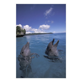 Micronesia, Palau Bottlenose dolphins Photo Print