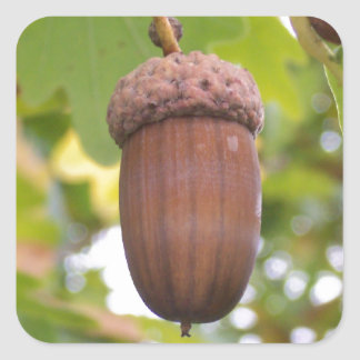 Mighty Acorn in an Oak Tree Stickers