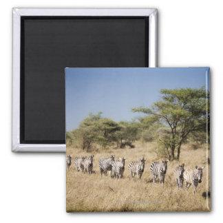 Migrating zebra, Tanzania Square Magnet