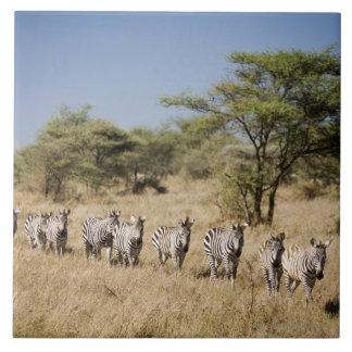 Migrating zebra, Tanzania Large Square Tile