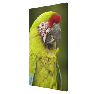 Military macaw (Ara militaris) CAPTIVE. Amazon 2 Canvas Print