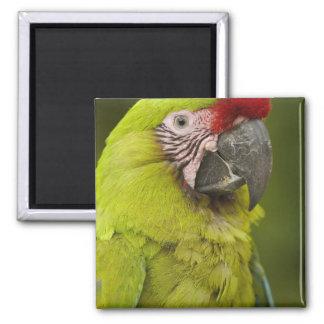 Military macaw (Ara militaris) CAPTIVE. Amazon 2 Magnet