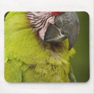 Military macaw (Ara militaris) CAPTIVE. Amazon 2 Mouse Mat