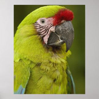 Military macaw (Ara militaris) CAPTIVE. Amazon 2 Poster
