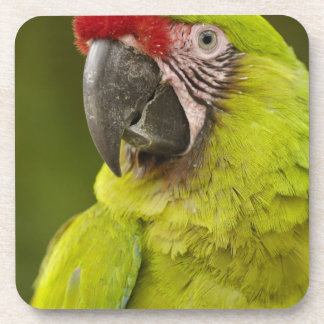 Military macaw (Ara militaris) CAPTIVE. Amazon Coasters