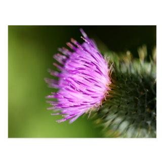 Milk Thistle Purple Wildflower Post Card
