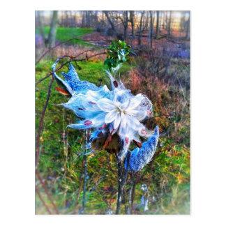 Milkweed cropped postcard