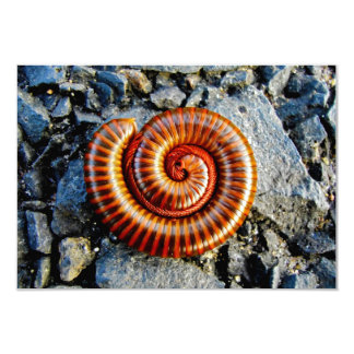 Millipede Trigoniulus Corallinus Curled Arthropod 9 Cm X 13 Cm Invitation Card