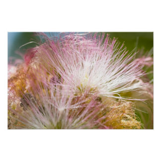 Mimosa Blossoms Poster