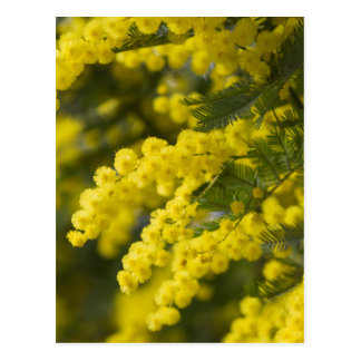 mimosa in bloom postcard