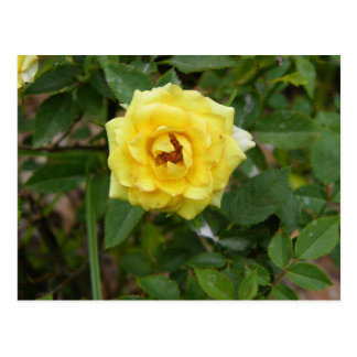 minature yellow rose post card