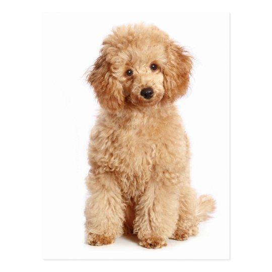 Miniature Apricot Poodle Puppy Dog Blank Postcard