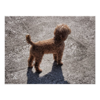 Miniature Apricot Poodle Waits for its Master Print